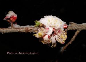 شکوفه - برف - استهبان